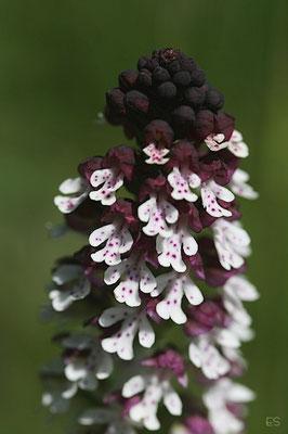 Brandknabenkraut (Orchis ustulata)