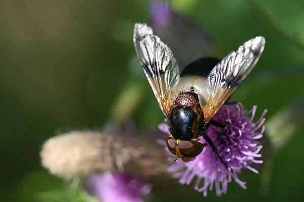 Hummelschwebfliege