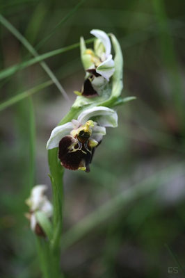 Hummel Ragwurz (Ophrys holoserica) Bastard
