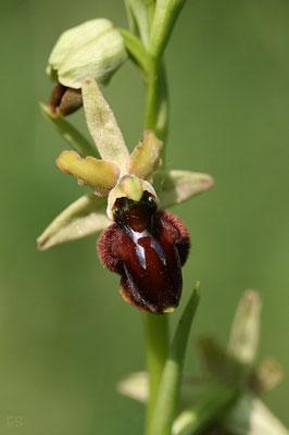 Spinnen Ragwurz (Ophrys sphegodes)