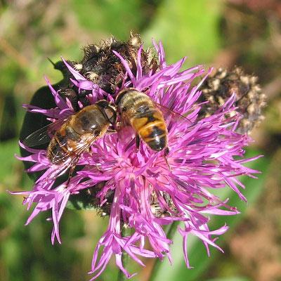 Schwebfliege / Mistbiene (Eristalis tenax)