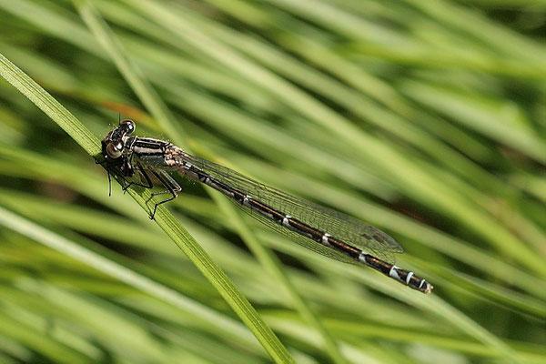 Federlibelle (Platycnemis pennipes)