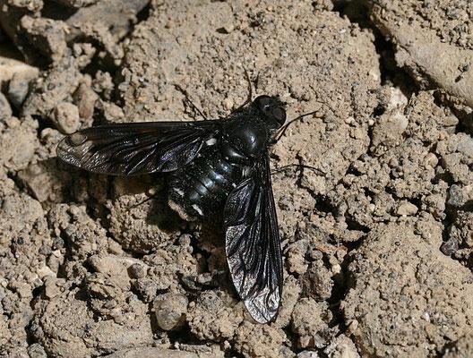 Trauerschweber (Anthrax morio)