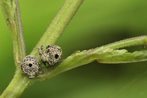 Blattschaber (Cionus hotulanus)