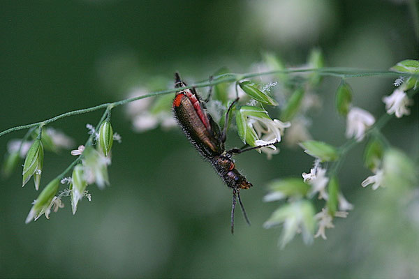 Malachitkäfer (Malachius bipustulatus)