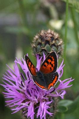 Feuerfalter (Lycaena phlaeas)