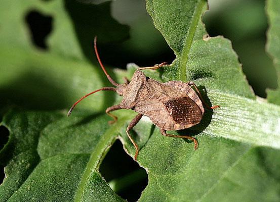 Rautenwanze (Syromastes rhombeus)