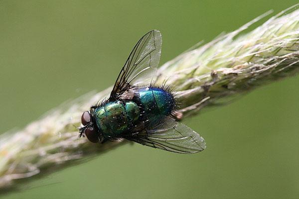 Kaisergoldfliege (Lucilia caesar )
