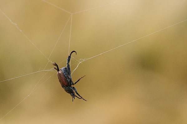 Silbriger Purzelkäfer  im Spinnennetz