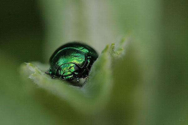 Blattkäfer (Chrysomela menthastri)