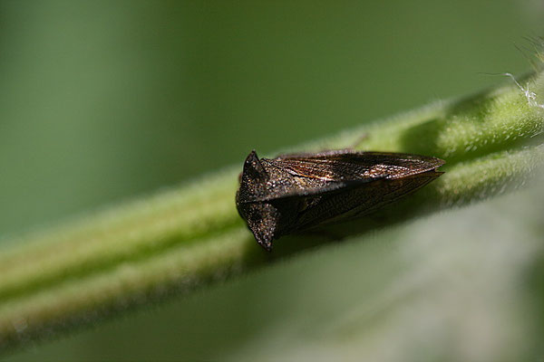 Buckelzirpe(Centrotus cornutus)