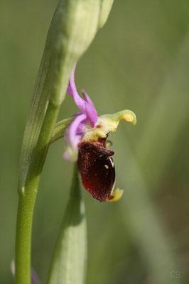 Hummel Ragwurz (Ophrys holoserica)