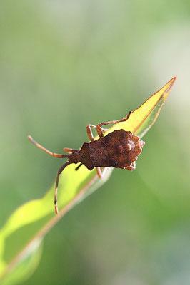 Sichelwanze (Hymacerus apertus)