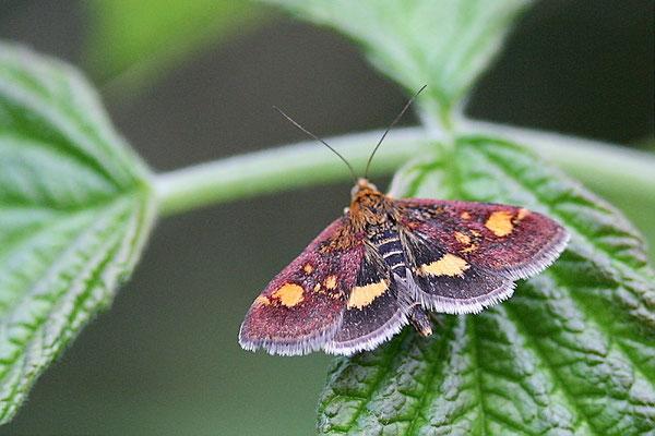 Purpurroter Zünsler (Pyrausta purpuralis)