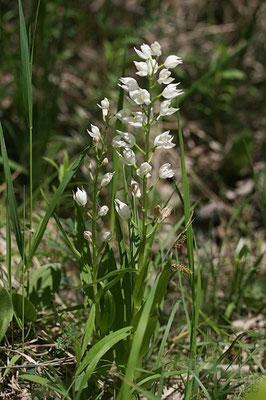 Schwertblättriges Waldvöglein (Cephalanthera longifolia)