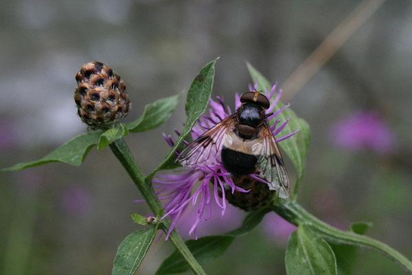 Schwebfliege (Leucozona lucorum)