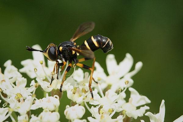 Waffenfliege (Xylomia maculata)?