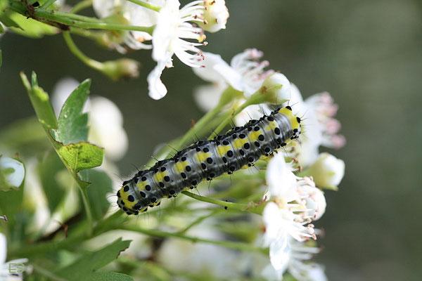 Raupe des Blaukopf (Diloba caeruleocephala)