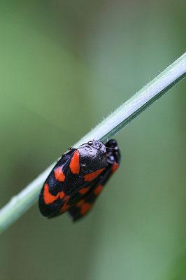Blutzikade ( Cercopis vulnerata)