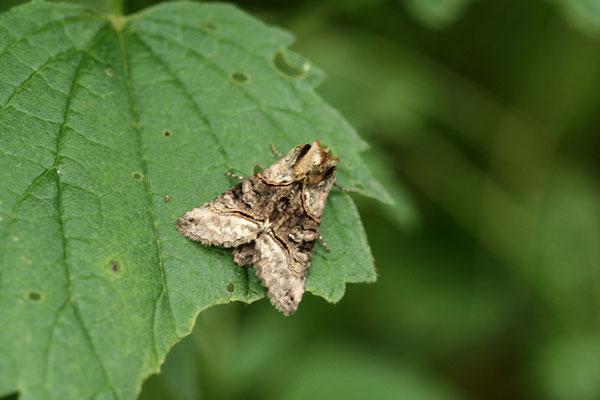 Striegeleule (Oligia strigilis)