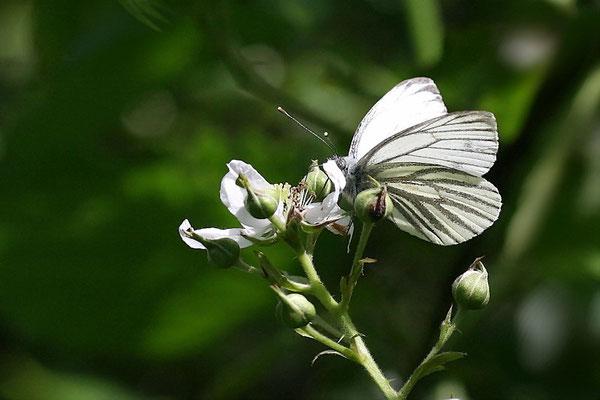 Baumweißling (Aporia grategi)