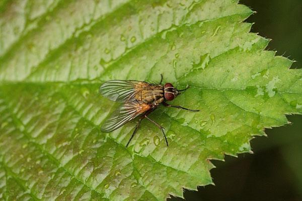 Kleine Fleischfliege (Phaonia viarum)
