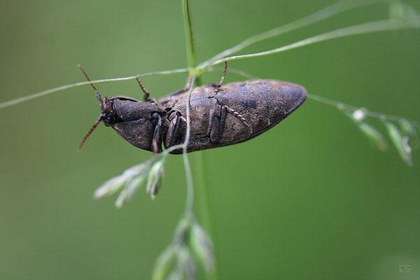 (Capnodis tenebrionis) Prachtkäfer
