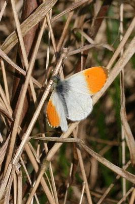 Aurorafalter (Anthocaris cardamines) Männchen