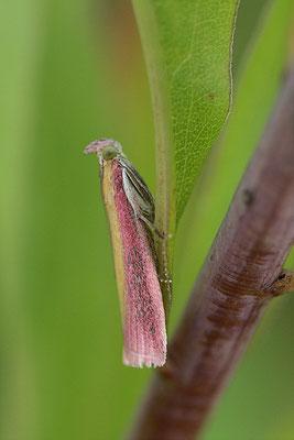 Federgeistchen (Oncocera semirubella)