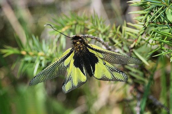 Libellenschmetterlingshaft (Libelloides longicornis) Netzflügler