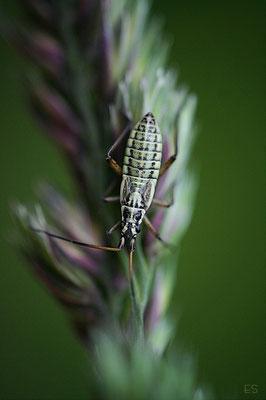 Graswanze (Leptoterna dolobrata)
