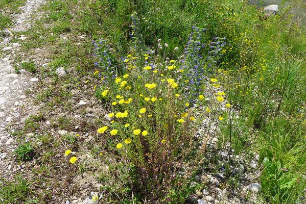 Sehr magere Flächen beherbergen Blumen, die viele Wochen blühen, mitunter bis im Herbst: entsprechend beherbergen sie eine grosse Insektenvielfalt, darunter wichtige Nützlinge.