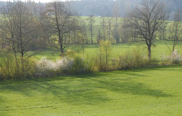 Durch diese Pflege und das Schonen alter Bäume werden die Hecken für die Biodiversität qualitativ aufgewertet. © Manfred Steffen