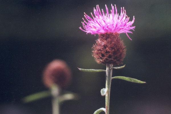 Schwarze Flockenblume