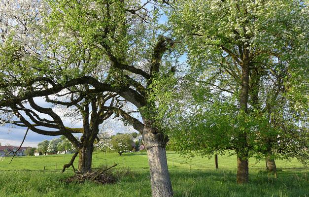 In Hochstammobstgärten werden alte und höhlenreiche Bäume geschont und eine Vielfalt an Strukturen und Unternutzen angestrebt.