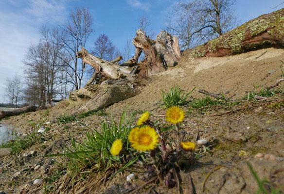 Die Zauneidechse kann mit einer Kombination von Sand- und Totholzhaufen, die später etwas überwachsen, gut gefördert werden (z.B. im Sand eigegrabener grosser Wurzelstock). © Manfred Steffen