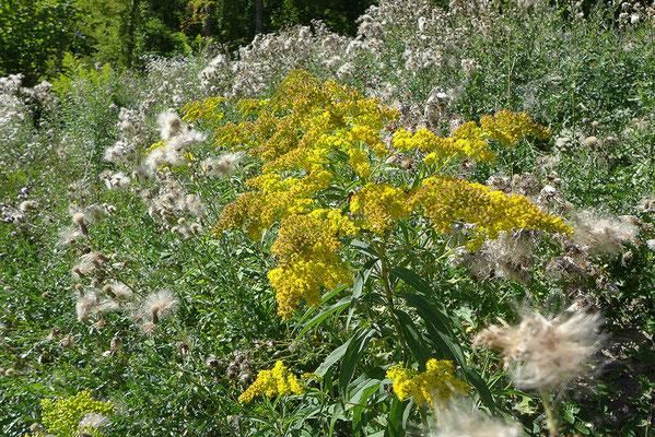 Die Kanadische Goldrute sollte im Garten durch andere schön blühende Pflanzen, z.B. Wildstauden wie Echte Goldrute, Wasserdost, Blutweiderich, Spierstaude ersetzt werden. Oder zumindest sollen die verblühten Blütenstände vor dem Versamen abgeschnitten wer