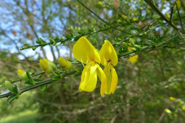 Blüte des Besenginsters