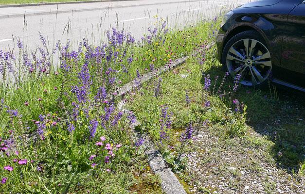 Pflegleichter Parkplatz: dort wo die Autos parken, wächst weniger. Wo die Beanspruchung geringer ist, gedeihen die Blumen üppiger. 1-2 mähen im Jahr genügt. © Manfred Steffen