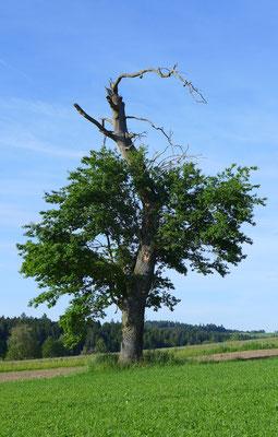 Alte Einzelbäume werden möglichst lange erhalten und junge vorausschauend gepflanzt. © Manfred Steffen
