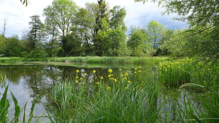 Am 2004 erbauten Äschweiher fühlt sich der Biber wohl. Er findet hier im Sommer schmackhafte Wasser- und Sumpfpflanzen ... © Manfred Steffen