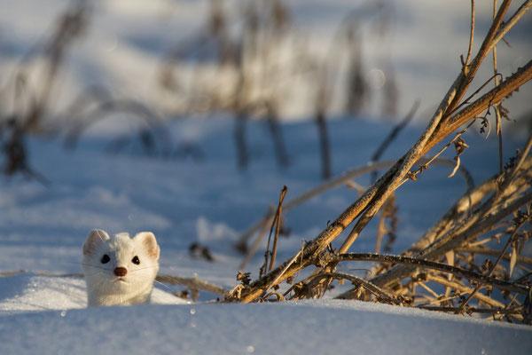 Im Winter trägt das Hermelin ein weisses Fell. Der Fellwechsel wird durch die Tageslänge und durch die genetischen Eigenschaften des einzelnen Tieres ausgelöst. © adobe_stock_sbthegreenman