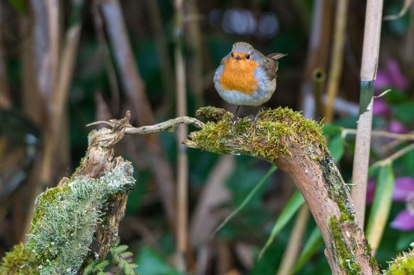 Das Rotkehlchen ist manchmal recht zutraulich. (© Jürg Stauffer)