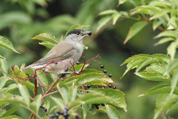 Wo es Hecken aus einheimischen Sträuchern hat, hört man jetzt den melodiösen Gesang der Mönchsgrasmücke. (© BirdLife Schweiz)
