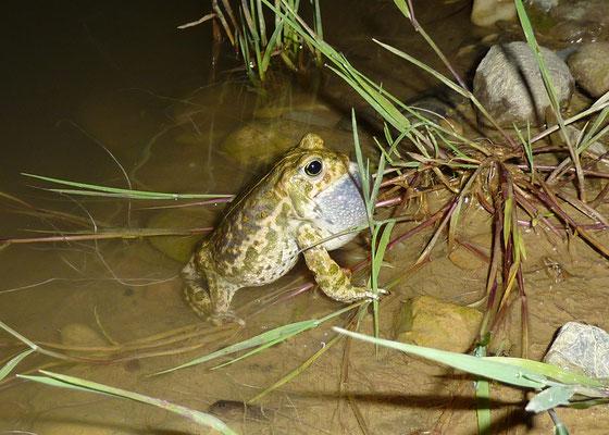 Die stark gefährdete Kreuzkröte benötigt für die Fortpflanzung sich gut erwärmende Pioniergewässer. © Manfred Steffen