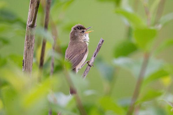 Im Hochstaudensaum kann wieder der Sumpfrohrsänger brüten. © Beat Rüegger