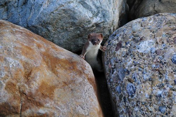 Hermeline brauchen Kleinstrukturen wie diesen Steinhaufen. © adolf_durrer