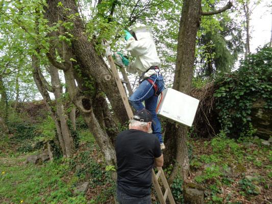 Récupération d'un essaim au sommet d'un arbre