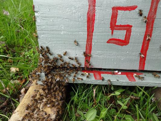 Enruchage spontanée d'une ruchette