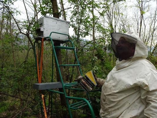 Installation d'une ruchette pour récupérer un essaim